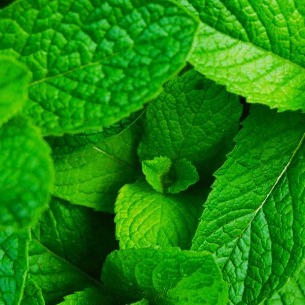 Menthol-Virginia-Tobacco-Concentrate